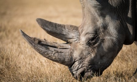 rhino-species-in-decline-embryo-might-save-it