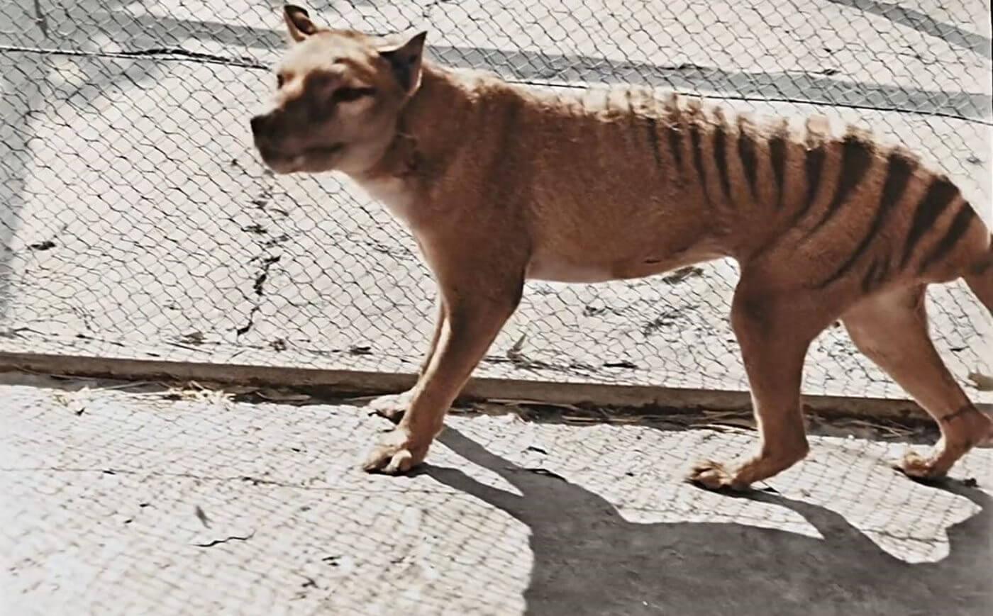 benjamin tasmanian tiger colorized footage